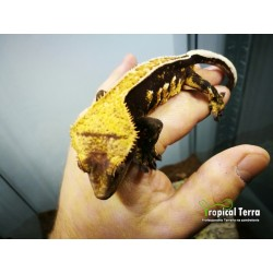 Gekon Orzęsiony Harlequin Full Pinstripe (Correlophus ciliatus Female) - Samiec 33g