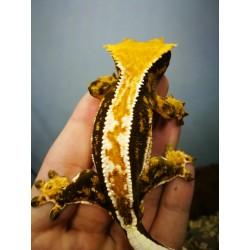 Samiec Gekona Orzęsionego Orange Harlequin  Pinstripe Hodowla Tropical Terra
