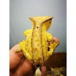 Samiec Gekona Orzęsionego Yellow Phantom Reverse Pinstripe Hodowla Tropical Terra