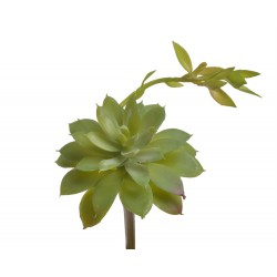 Tropical Terra™ - Sukulent echeveria