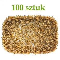 Tropical Terra™ - Karaczan Turecki - wylęg 100 szt.