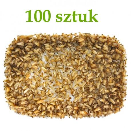 Karaczan Turecki - wylęg 100 szt.
