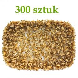 Karaczan Turecki - wylęg 300 szt.