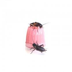 Pokarm wapno w żelu - Komodo Jelly Pot Calcium