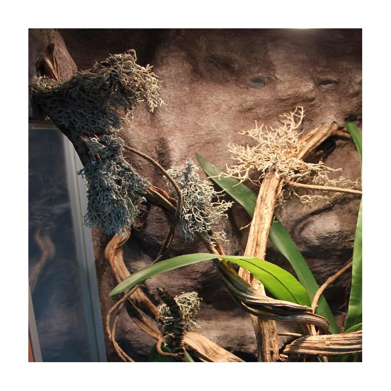 chrobotek reniferowy do aranżacji terrarium