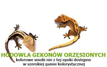 hodowla gekonów orzęsionych Tropical Terra - nasze kolorowe smoki nie z tej epoki dostępne w szeroki
